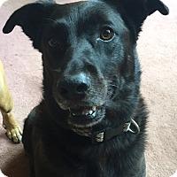 Adopt A Pet :: Shiloh - Morgantown, WV