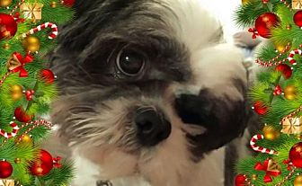 Shih Tzu Mix Dog for adoption in Euless, Texas - Jason Day