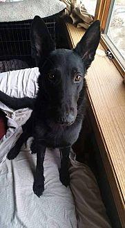 German Shepherd Dog Mix Dog for adoption in bridgeport, Connecticut - Vidar