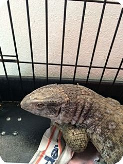 Lizard for adoption in Middle Island, New York - Rex