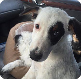 Blue Heeler/Australian Cattle Dog Mix Puppy for adoption in Vidor, Texas - Chance