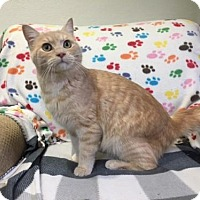 British Shorthair Cat for adoption in Agoura Hills, California - Henry
