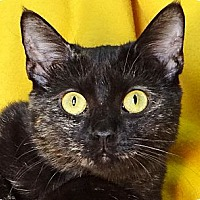 Domestic Shorthair Cat for adoption in Renfrew, Pennsylvania - Ashley