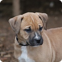 Boxer Mix Puppy for adoption in Glastonbury, Connecticut - Grits~adopted!