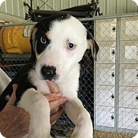Adopt A Pet :: Gwen in CT - Manchester, CT
