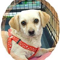 Adopt A Pet :: YaYa - Las Vegas, NV