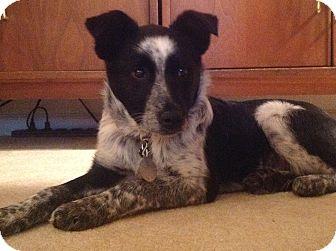 Australian Shepherd/Australian Cattle Dog Mix Puppy for adoption in Bedford, Virginia - Angel