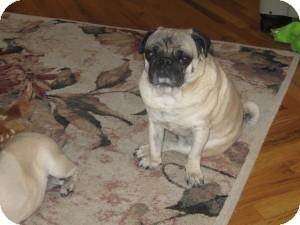 Pug Dog for adoption in Strasburg, Colorado - Frankie Joe
