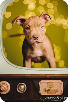 Pit Bull Terrier Puppy for adoption in Portland, Oregon - Goose