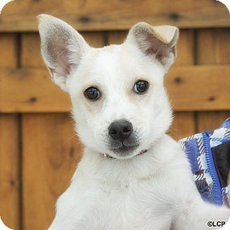 Labrador Retriever/Hound (Unknown Type) Mix Puppy for adoption in Brooklyn, New York - Darling Daiquiri