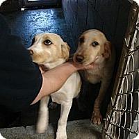 Adopt A Pet :: Alexis - Fort Scott, KS