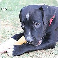 Adopt A Pet :: Electra - Phoenix, AZ
