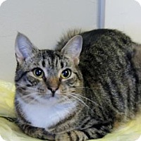 Domestic Shorthair Cat for adoption in Statesville, North Carolina - JJ