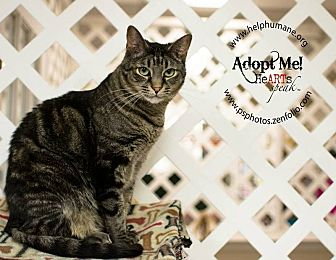 American Shorthair Cat for adoption in Belton, Missouri - Pop