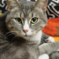 Domestic Shorthair Cat for adoption in Atlanta, Georgia - Paisley	151002