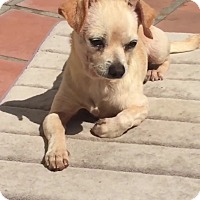 Chihuahua Mix Dog for adoption in Los Angeles, California - Pearl