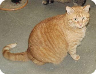 Domestic Mediumhair Cat for adoption in Cheboygan, Michigan - Runt