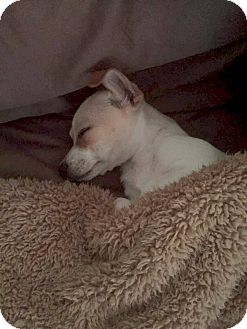 Terrier (Unknown Type, Small)/Chihuahua Mix Puppy for adoption in Sun Valley, California - BJ