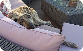 Greyhound Dog for adoption in Tucson, Arizona - Roonie