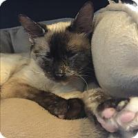 Siamese Cat for adoption in Sherwood, Oregon - Sasha