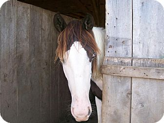 Paint/Pinto/Tennessee Walking Horse Mix for adoption in Lyles, Tennessee - Clover