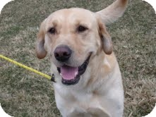 Labrador Retriever Mix Dog for adoption in Lewisville, Indiana - Adonis