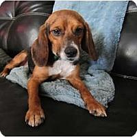 Adopt A Pet :: Spike - Alexandria, VA