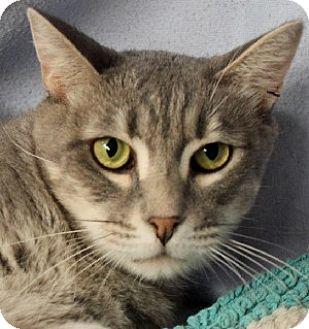 Domestic Shorthair Cat for adoption in Savannah, Missouri - Louie
