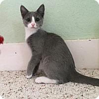 Adopt A Pet :: Velveteen - Modesto, CA