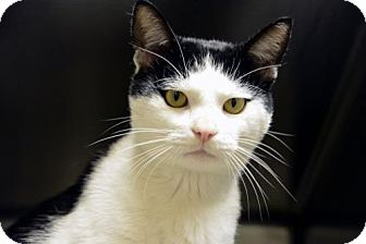 Domestic Shorthair Cat for adoption in Versailles, Kentucky - Taffy