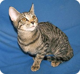 Domestic Shorthair Kitten for adoption in Colorado Springs, Colorado - K-Sasha4-Simone