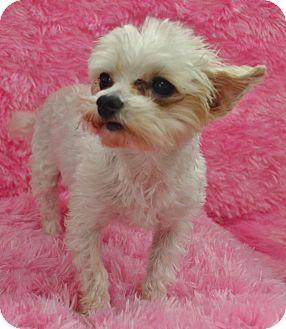 Maltese/Pomeranian Mix Dog for adoption in Bridgeton, Missouri - Macie-Adoption pending