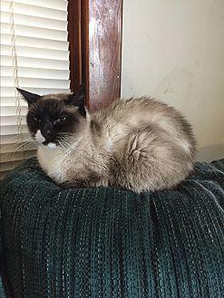 Snowshoe Cat for adoption in Hampton, Virginia - Precious