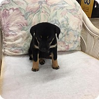 Adopt A Pet :: Allison - Allentown, NJ
