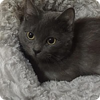Adopt A Pet :: Felix (Bonded to Smudge) - Richmond Hill, ON