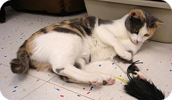 Domestic Shorthair Cat for adoption in Fountain Hills, Arizona - PHOEBE