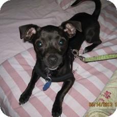 Chihuahua Mix Dog for adoption in Welland, Ontario - Zambucca