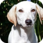 Labrador Retriever Mix Puppy for adoption in Brooklyn, New York - Watson