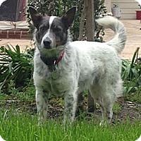 Adopt A Pet :: Jag - Kingwood, TX