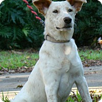 Adopt A Pet :: Jackie Blue - Sugarland, TX