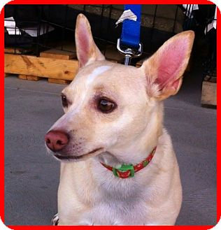 Jack Russell Terrier/Chihuahua Mix Dog for adoption in Phoenix, Arizona - Jeffrey