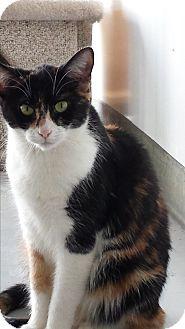 Domestic Shorthair Cat for adoption in Diamond Springs, California - Cali