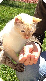 Siamese Cat for adoption in Lodi, California - Perkii