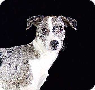 Catahoula Leopard Dog/Australian Shepherd Mix Puppy for adoption in Cincinnati, Ohio - Kliff
