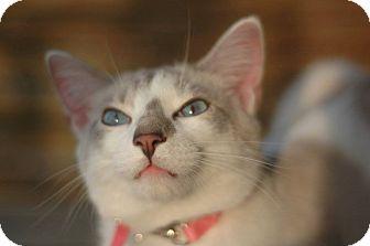 Siamese Cat for adoption in Anderson, South Carolina - Loki