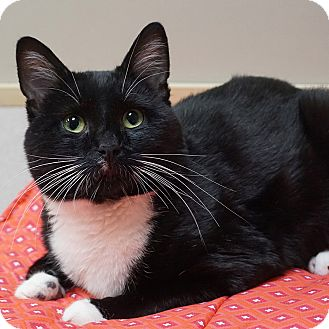 American Shorthair Cat for adoption in Naperville, Illinois - Sammy