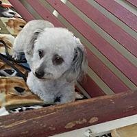Toy Poodle Dog for adoption in Stockton, California - Mimi