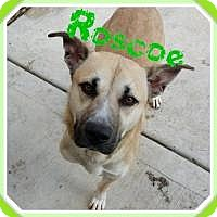 Adopt A Pet :: Roscoe (a tripaw'd) - Crown Point, IN