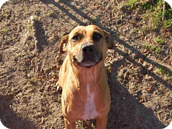 American Bulldog Mix Dog for adoption in Panama City, Florida - CARLY
