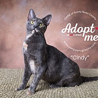 Domestic Shorthair Cat for adoption in Navarre, Florida - Cyndi Lauper
